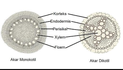 Gambar Struktur Akar Monokotil Dan Dikotil Berbagai Struktur