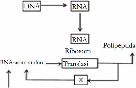 Materi genetik soal zenius diagram langkah sintesis protein bagian x pada diagram di atas menunjukan ccuart Image collections