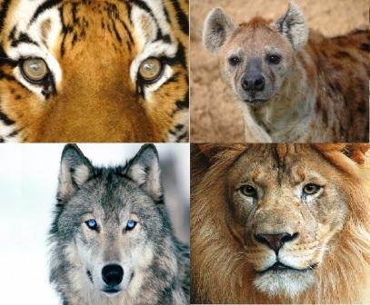 Mata hewan karnivora berada di depan, memudahkan mereka untuk berburu