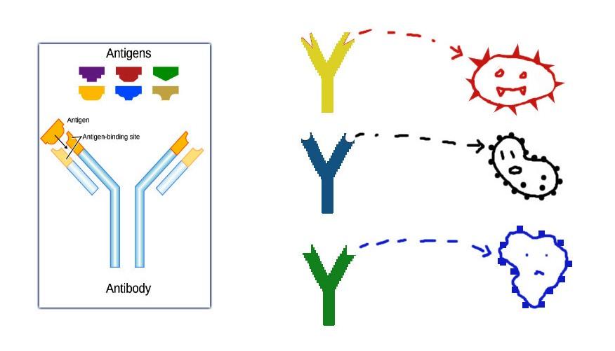 Contoh ilustrasi Bentuk Antibodi