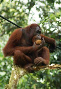 orangutan sebagai penyebar biji
