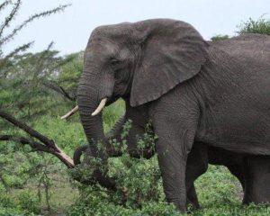 gajah merobohkan pohon