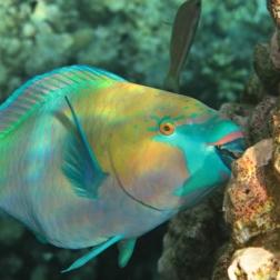 parrot fish memakan karang