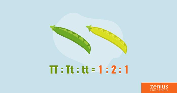 Penerapan Matematika dalam Hukum Hereditas Mendel 33