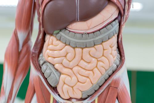 Mengenal Sistem Pencernaan dan Organ-organ yang Terlibat di Dalamnya 36