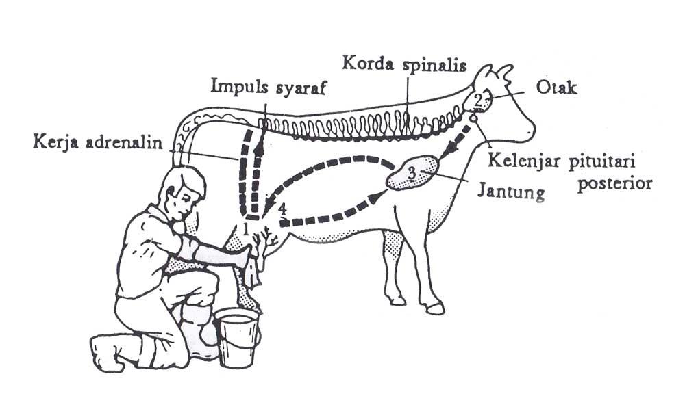 Proses hormon dalam pemerahan sapi perah