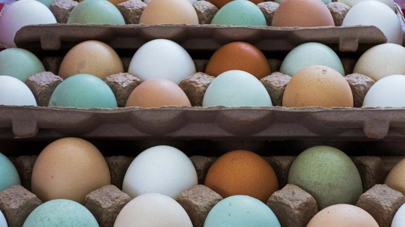 perbedaan warna telur