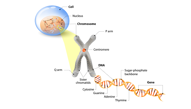 Bagian kromosom