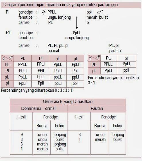 Pautan gen pada kacang ercis