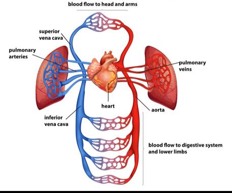 mekanisme sistem peredaran darah