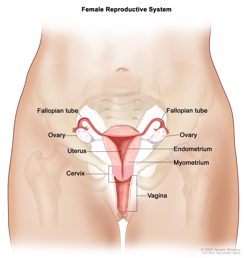 organ penyusun sistem reproduksi pada wanita