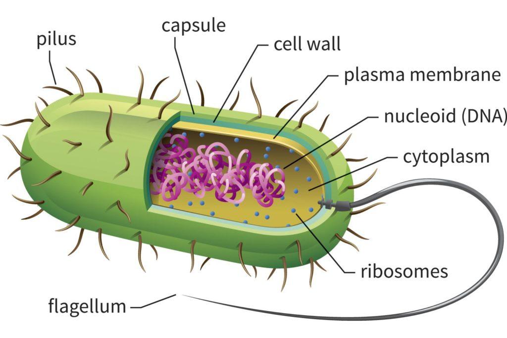 struktur tubuh eubacteria