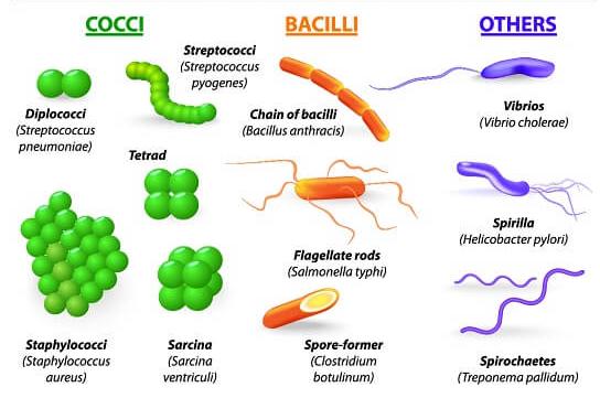 bentuk dan klasifikasi eubacteria