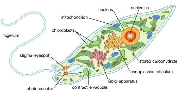 struktur tubuh protista