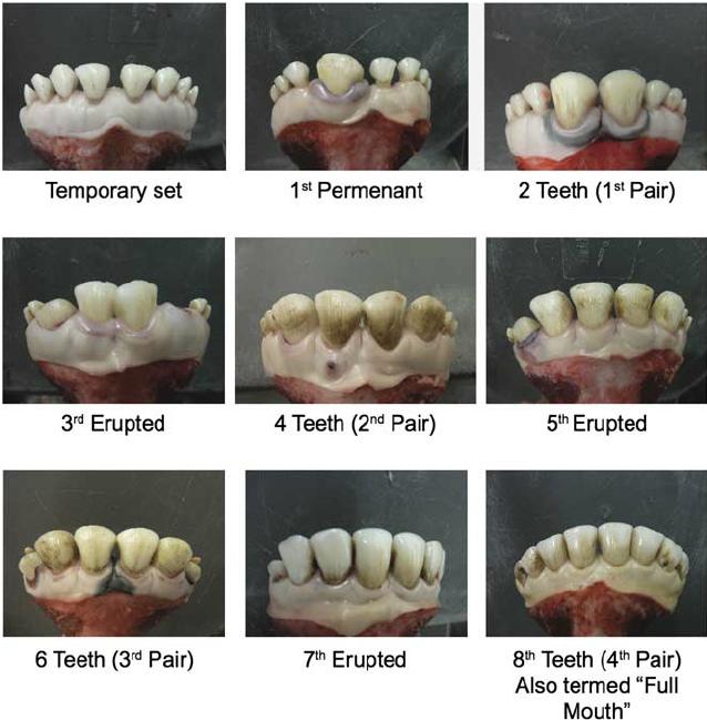 fakta menarik sapi bisa ditentukan usianya dari gigi