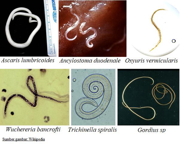 klasifikasi nemathelminthes atau cacing gilig