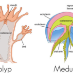 struktur tubuh Coelenterata polip dan medusa