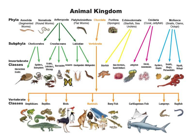 klasifikasi kingdom animalia