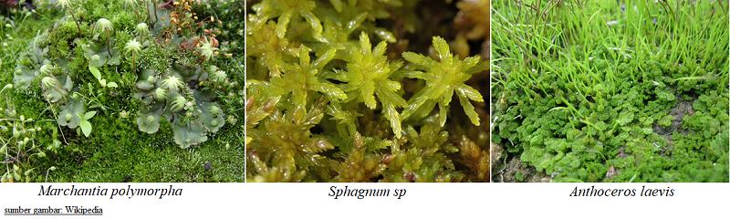 contoh klasifikasi tumbuhan lumut