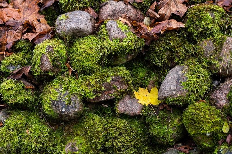 tumbuhan lumut atau bryophyta