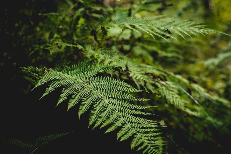 tumbuhan paku pteridophyta