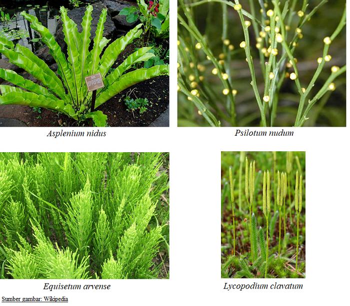 klasifikasi tumbuhan paku pteridophyta