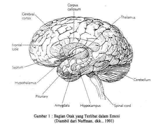 bagian-bagian otak yang terlibat dalam pengaturan emosi