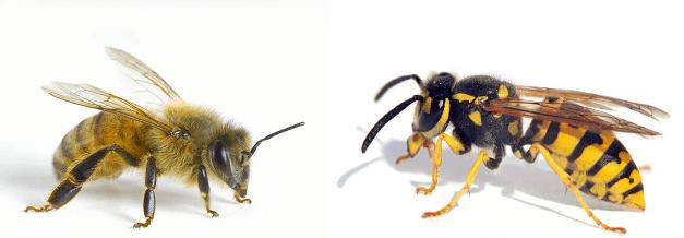 perbedaan lebah dan tawon